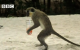 Alcoholic Vervet Monkeys! - Weird Nature