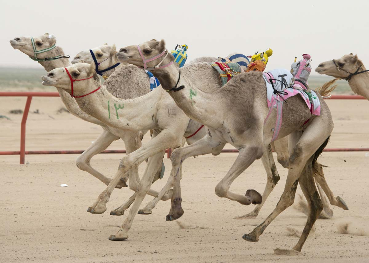 Robot camel racing tournaments Dubai
