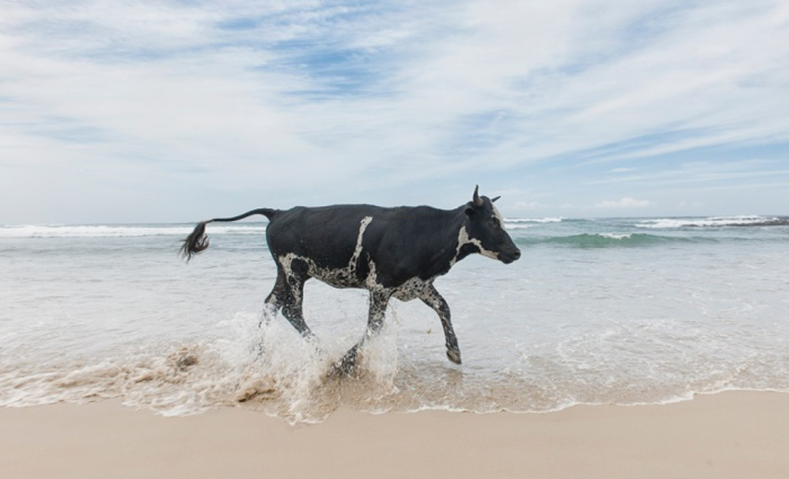 Christopher Rimmer photographs cattle in Pondoland