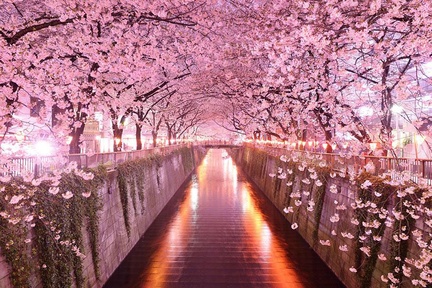 Sakura Tunnel, Japan. Cherry blossom tunnel