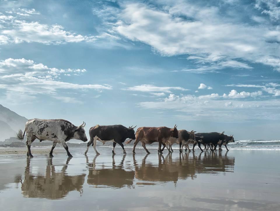 Christopher Rimmer photographs cattle in Pondoland