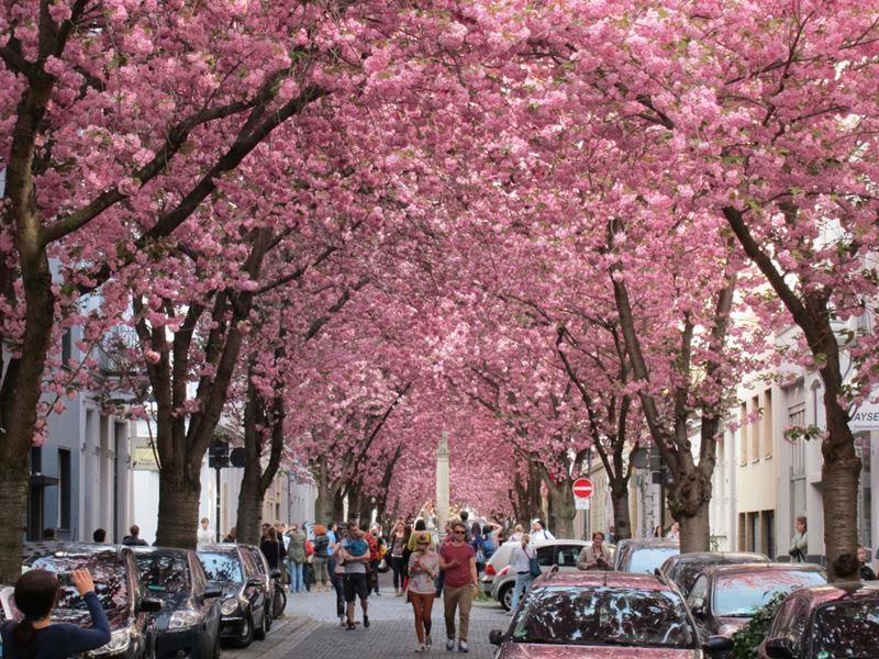 Cherry tree street in Bonn Germany